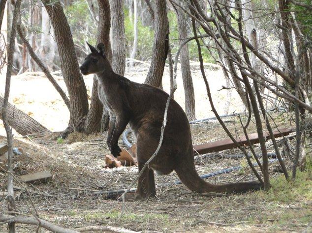 Post - Kangaroo Island - Kangaroo