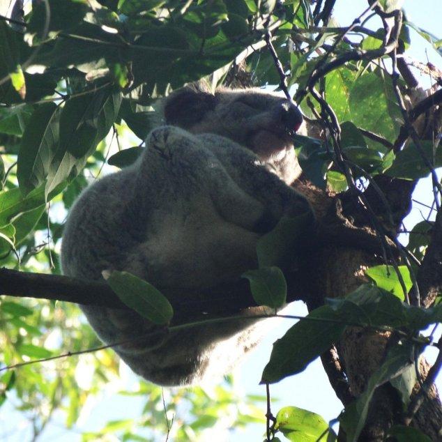 Post - Noosa II - Koala