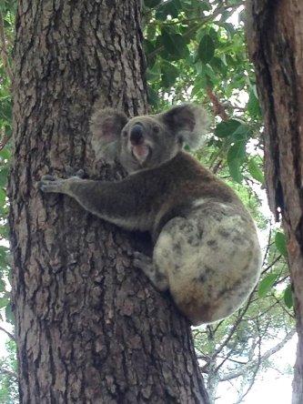 Koala, qu'est-ce que vous avez a me regarder comme ca ?