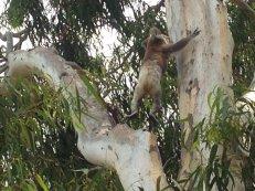 Koala, en fait c'est souple ces petites betes !