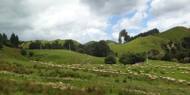 Post - NZ - Moutons