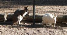 Wallabies in the garden