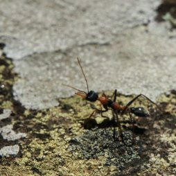 Amber's ant