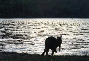 Wallabies in The Basin, again