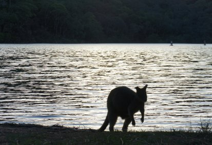 Wallabies in The Basin, again