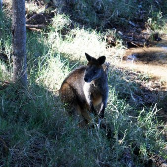 Wallabies in The Basin, cute!