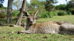 Cave Beach - Kangaroos