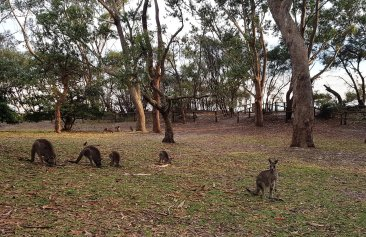 Kangaroos in Green Patch (picture Nichal)